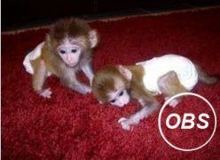 pygmy marmoset Capuchin monkeys for sale