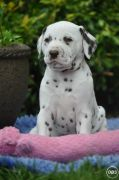 qfh lovely Dalmatian Puppies