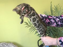 Quality Bengal Kittens Looking for New Home at UK Free Classified Ads