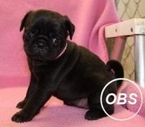Quality Female Pugs For Sale Mother and Daughter at UK Free Classified Ads