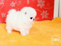 quality  Pomeranian puppies