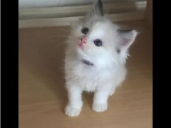 Ragdol kittens there is bi colour for Sale in the UK