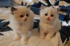Ragdolls Kittens for sale