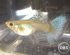 RARE BLUE GRASS GUPPY FEMALE FISH Only 3 left at UK Free Classified Ads