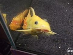 rare leucistic sydontis catfish 5 inches stunning fish uk free ads