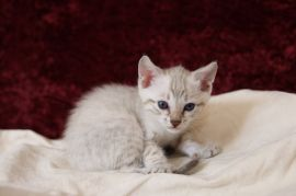 Ready Now Stunning Rosetted Bengal Kittens