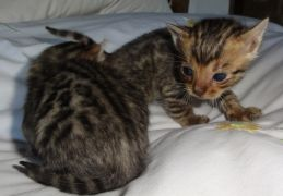 Registered Bengal Kittens for Sale Tamworth UK Best Offer Available at Free Ads UK