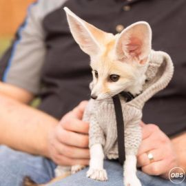 Registered Fennec Fox Kit as Pets