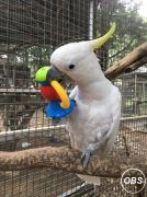 Rings Cockatoo Parrots For Sale