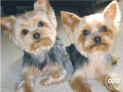 Sally and tom can go separately puppies for Sale in the UK