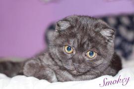 Scottish Fold kittens boys for sale at UK Free Ads