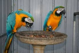 sedrf macaw parrots 323606511