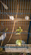 Selling Some of My Exhibition Budgies at UK Free Classified Ads
