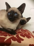 Siamese Kittens for Sale Cambridge UK Free Classified Ads