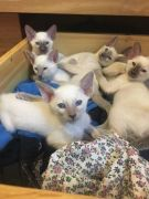 Siamese Kittens for Sale Salisbury UK Seal and Lilac Points Still Available at Free Ads UK