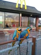 Silly Tame Baby B G Macaw Parrots for Sale at UK Free Classified Ads