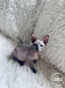sphynx and bengal kittens for adoption