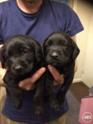 Springador Puppies for Sale at UK Free Classified Ads