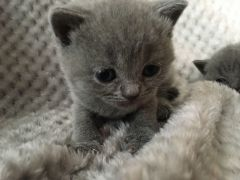Stunning British Short Hair Kittens for Sale Northamptonshire UK Free Classified Ads
