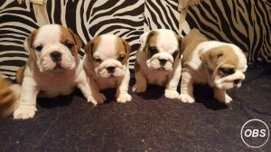 Stunning litter of English bulldog puppies for Sale at UK Free Classified Ads