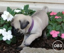 Stunning Litter Of Fawn Pugs Puppies Available