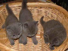 stunning Russian blue kittens