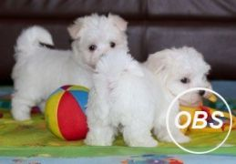 Stunning White Teacup Maltese Puppies 447440524997