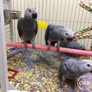 Super Tamed African Grey Parrots