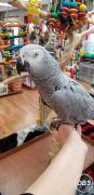 Talking african grey parrots