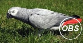 Tamed african grey parrots for sale