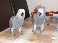 Tamed African grey parrots
