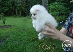 TEA CUP POMERANIAN PUPPIES FOR SALE