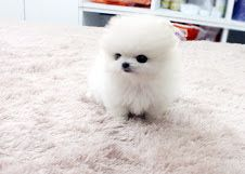 Tea Cup Pomeranian puppies with good champion bloodline