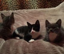 Three Little Girl Kittens for Sale Scotland UK Need a Home UK Free Classified Ads