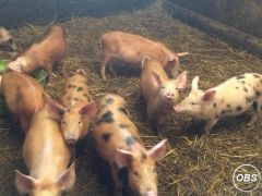 Traditional well Grown Weaners for Sale at UK Free Classified Ads