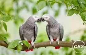 Two African Grey Parrots for Adoption