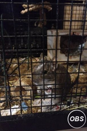 Two male degu and large cage with accessories for Sale at UK Free Classified Ads