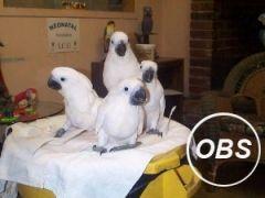 Umbrella Cockatoos Parrots