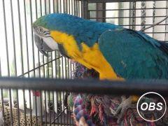 vc Adorable Blueyellow Amazon Macaw