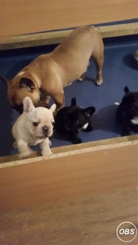 We have a littler of KC Registered 5 generation French Bulldog puppies for sale 1cream girl and 2boy UK Free Ads
