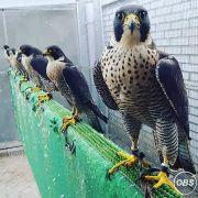 Winged Predators Falcon Birds For Sale
