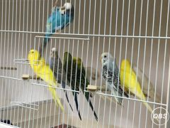 Young Budgies For Sale at UK Free Classified Ads